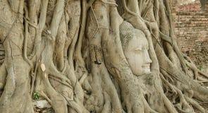 Testa del Buddha in un albero Fotografie Stock Libere da Diritti
