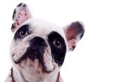 Testa del bulldog francese Fotografia Stock Libera da Diritti