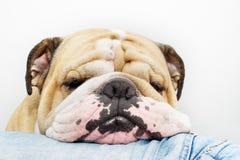Testa del bulldog sui jeans Immagine Stock