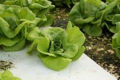 Testa del burro, verdura di verde di coltura idroponica di coltivazione Fotografia Stock Libera da Diritti