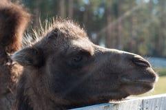 Testa del cammello Fotografia Stock Libera da Diritti