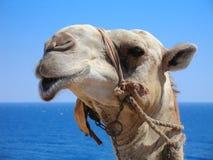 Testa del cammello Immagini Stock