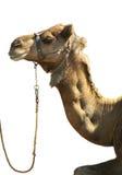 Testa del cammello su bianco Fotografia Stock Libera da Diritti