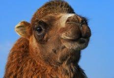 Testa del cammello sul cielo blu Fotografia Stock Libera da Diritti