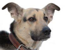 Testa del cane Fotografie Stock
