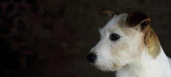 Testa del cane bianco e marrone di Jack Russell con lo spazio della copia fotografie stock libere da diritti