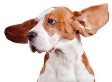 Testa del cane da lepre su bianco Immagine Stock Libera da Diritti