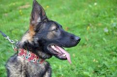 Testa del cane da pastore tedesco, fine su, prato nel fondo Fotografia Stock Libera da Diritti