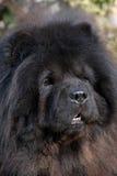 Testa del cane del chow-chow immagini stock