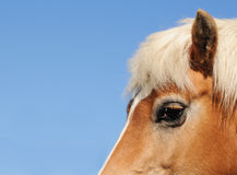 Testa del cavallo fotografia stock