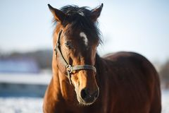 Testa del cavallo Fotografia Stock Libera da Diritti