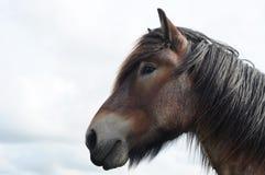 Testa del cavallo di cambiale della Brabante Immagini Stock Libere da Diritti