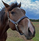 Testa del cavallo di colore marrone scuro Fotografia Stock Libera da Diritti