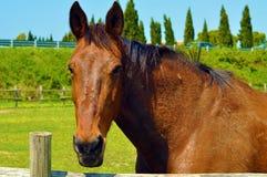 Testa del cavallo marrone Fotografia Stock Libera da Diritti