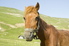 Testa del cavallo marrone Immagini Stock Libere da Diritti