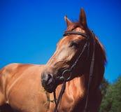 Testa del cavallo marrone Fotografia Stock