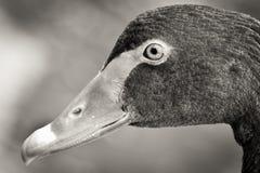 Testa del cigno in bianco e nero fotografia stock libera da diritti