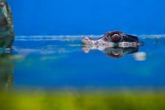 Testa del coccodrillo sopra acqua Fotografia Stock