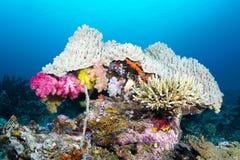 Testa del corallo Fotografie Stock Libere da Diritti