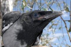Testa del corvo 2. Immagini Stock Libere da Diritti