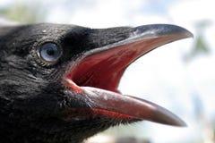 Testa del corvo Fotografia Stock Libera da Diritti