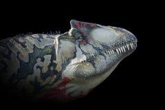 Testa del ` di allosauro su fondo nero Fotografie Stock