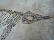 Testa del dinosauro, corpo e fossile della gamba Fotografie Stock