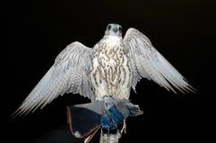 Testa del falco Immagini Stock