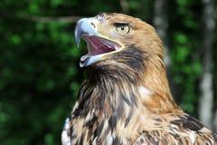Testa del falco con il becco aperto Fotografia Stock
