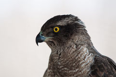 Testa del falco su bianco Immagini Stock Libere da Diritti