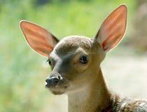 Testa del fawn Fotografia Stock