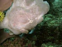 Testa del Frogfish Immagine Stock