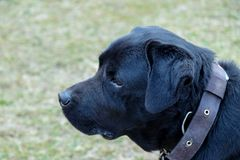 Testa del fronte del cane nero di Labra fotografia stock
