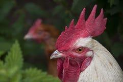 Testa del gallo con la gallina nella priorità bassa Fotografia Stock