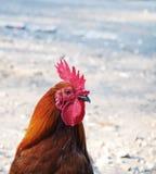 Testa del gallo rosso Fotografia Stock