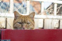 Testa del gatto dello zenzero con gli occhi gialli dietro il rosso fotografia stock