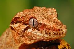 Testa del gecko del gargoyle fotografia stock