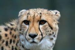 Testa del ghepardo Fotografie Stock