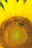 Testa del girasole che è impollinata da un ape del miele fotografie stock libere da diritti