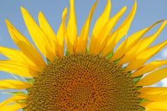 Testa del girasole con i petali di spikey di estate immagini stock libere da diritti