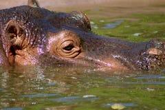 Testa del Hippopotamus fotografia stock
