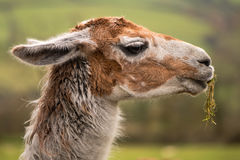 Testa del lama con erba che pende dalla bocca Fotografia Stock Libera da Diritti