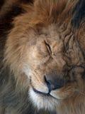 Testa del leone Fotografie Stock