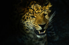 Testa del leopardo Immagini Stock