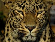 Testa del leopardo fotografia stock