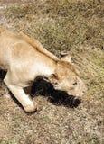 Testa del Lioness Fotografie Stock Libere da Diritti
