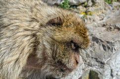 Testa del macaco di barbary Fotografia Stock