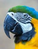 Testa del pappagallo Immagini Stock