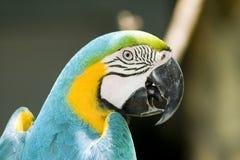 Testa del pappagallo Fotografia Stock