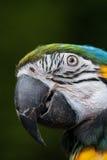 Testa del pappagallo Immagine Stock